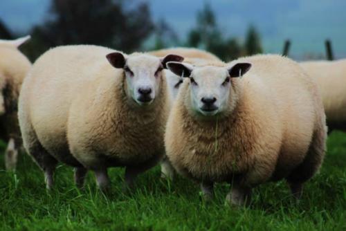 Rou-teX ewe lambs 2
