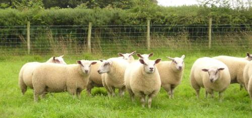 Rou-teX lambs