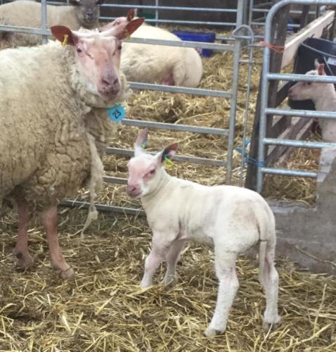 Baby Lamb 1