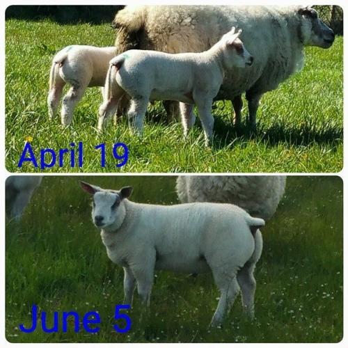 lamb growth