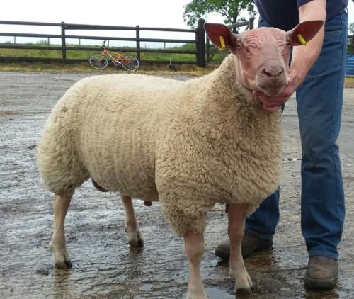 pure ram lamb